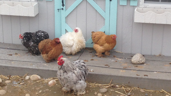 10 Hacks You'll Want to Steal for your Chicken Coop
