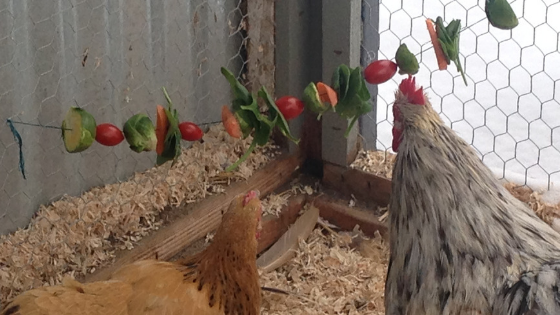 7 Easy Ways to Keep your Chickens Entertained this Winter