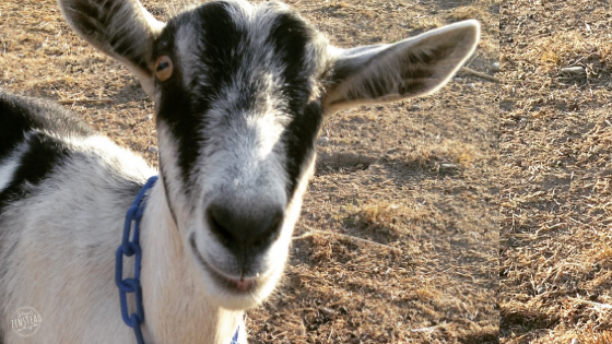 How to Help your Goats Quickly Recover from a Runny Nose