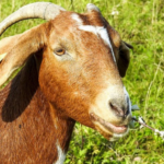 7 Popular Meat Goat Breeds for your Homestead